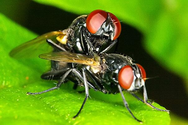 ذبابة العادية او ما تسمى بذبابة الطعام