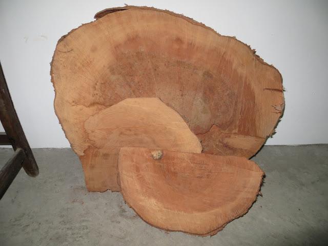 Corte de árvore metrosidero, árvore de fogo, mostrando os veios da madeira
