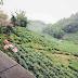 阿里山:阳台外的茶园风光