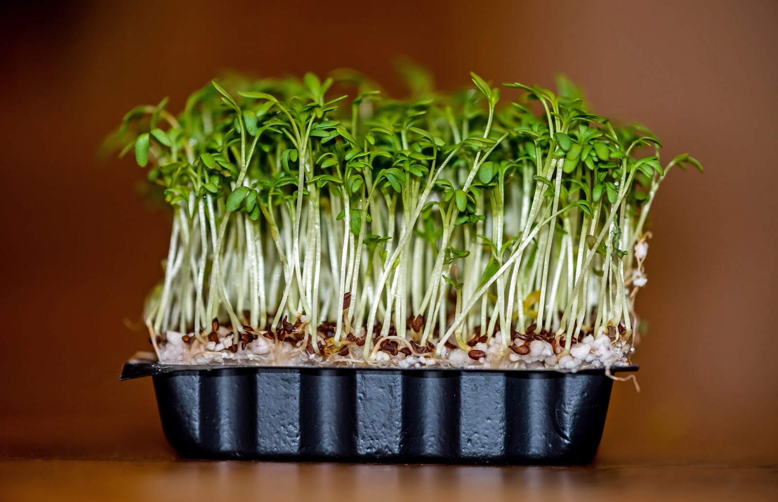 research papers of garden cress seedslepidium sativum Lepidium sativum l in the indian materia medica with ayurvedic unani and home remedies about this article title effect of processing on nutraceutical properties of garden cress (lepidium sativum l) seeds.