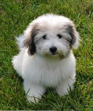 See more Coton De Tulear puppy http://cutepuppyanddog.blogspot.com/