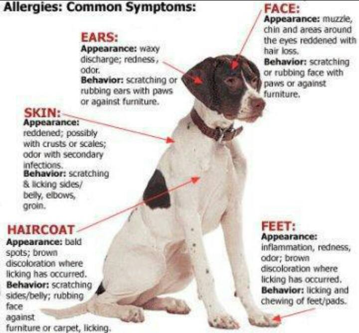 Can Dog Allergies Cause Fever