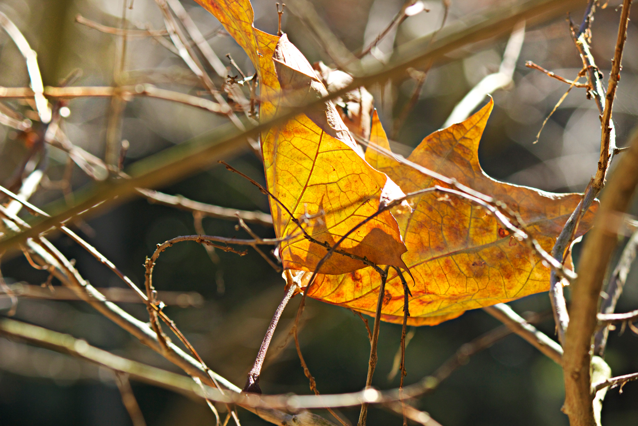 crinkled fall leaf photography - photo copyright Allison Beth Cooling