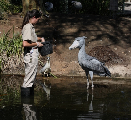 Jane's Jewels: The Shoebill (aka Whalehead Stork)