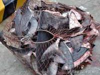 A prisão do Capitão Paul Watson atrapalha os caçadores de tubarão da Costa Rica