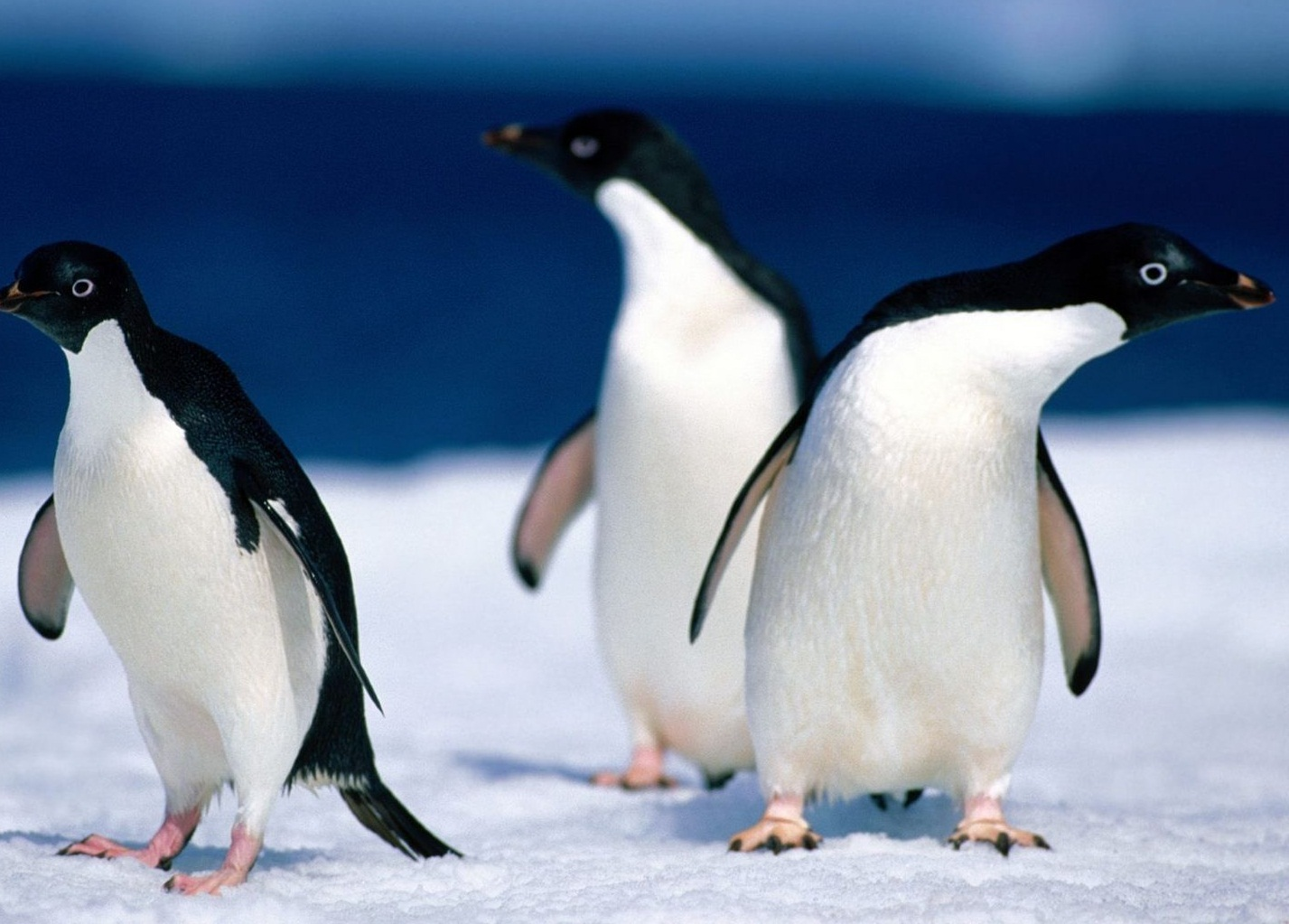 Images of adelie penguins - photo#3
