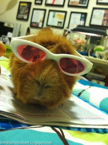 glamorous guinea pig