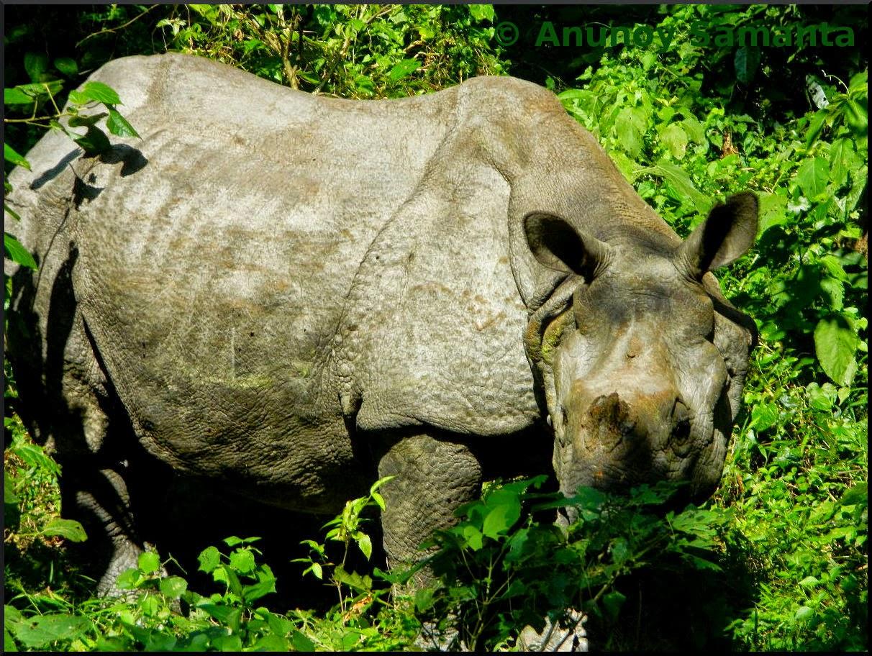 The Hornless Rhino of Jaldapara