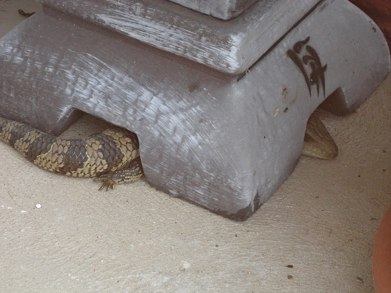 Drifting Through Life A Lizard In Your Home Is Lucky Right