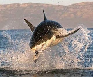 foto superinteressante Tubarão