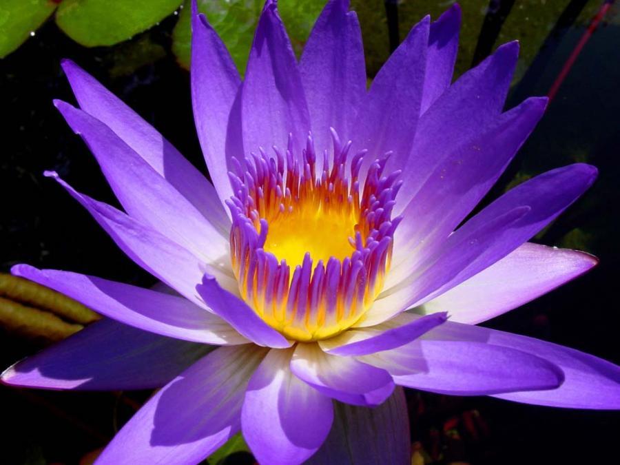 purple lily flower plant - photo #37
