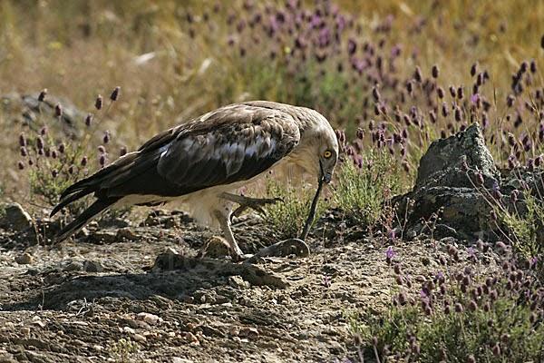 Águila Culebrera con una Presa