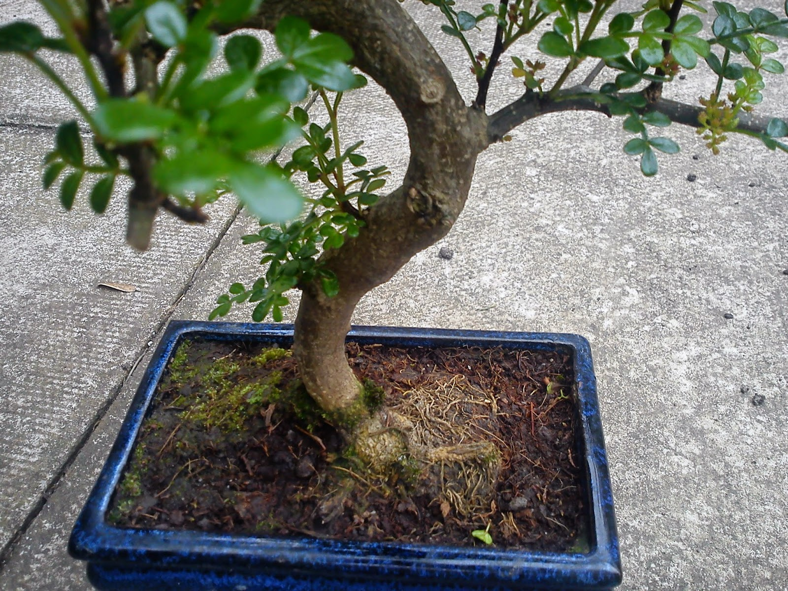 BONSAI JAPANESE PEPPER TREE ZANTHOXYLUM PIPERITUM GARDENER39S