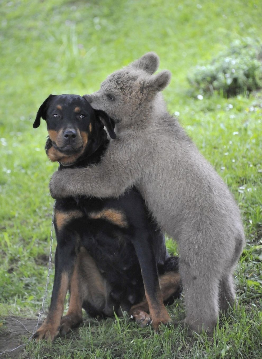 funny animal pictures, baby bear hugs dog