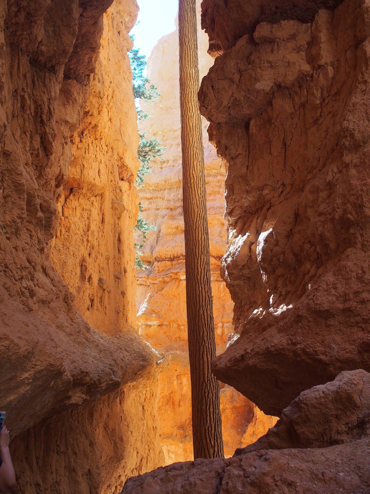 A Tree Grows on Wall Street II, #bryce #brycecanyon #wallstreet #navajolooptrail #navajoloop #utah 2014