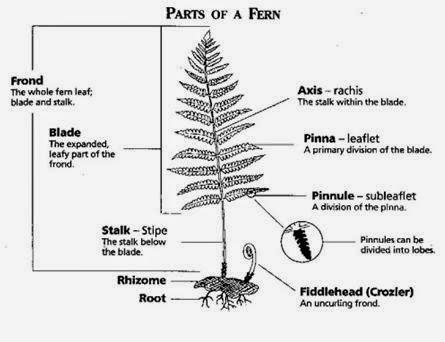 Spora pada tumbuhan paku pdf