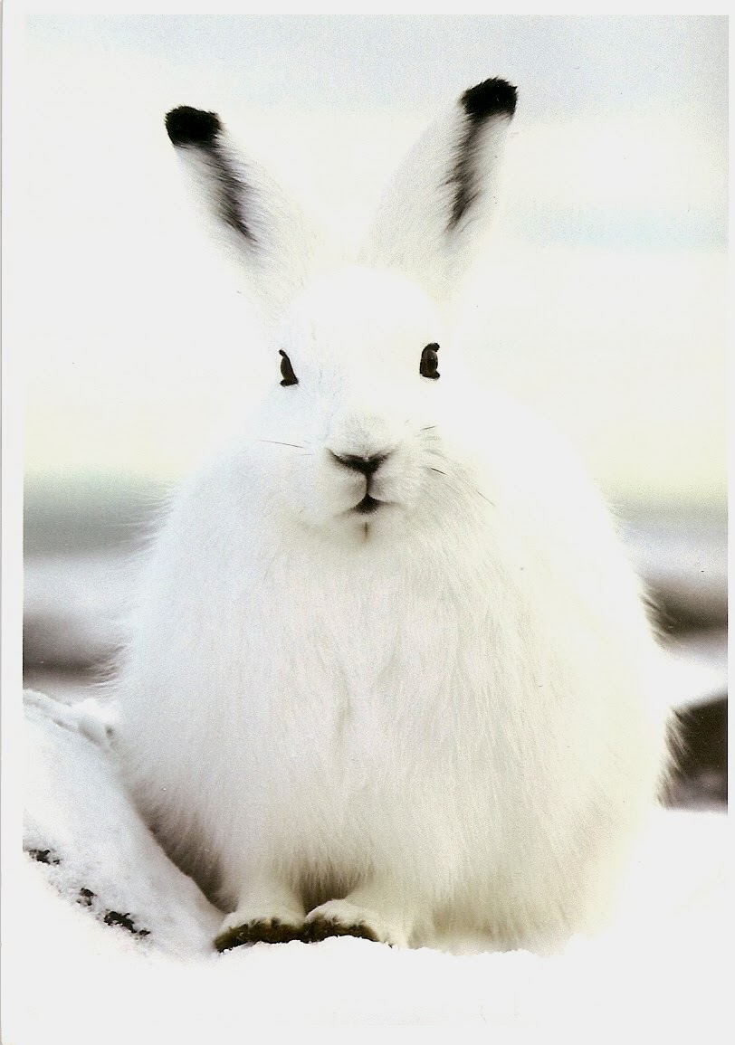 Cute Baby Arctic Hare