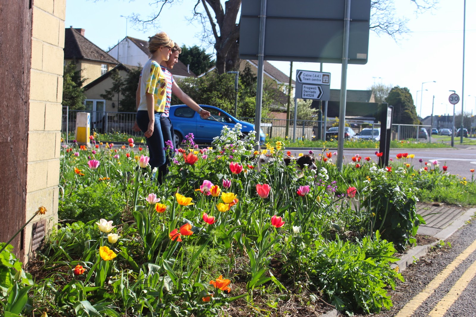 Dog walkers amongst the tulip verges in Chippenham
