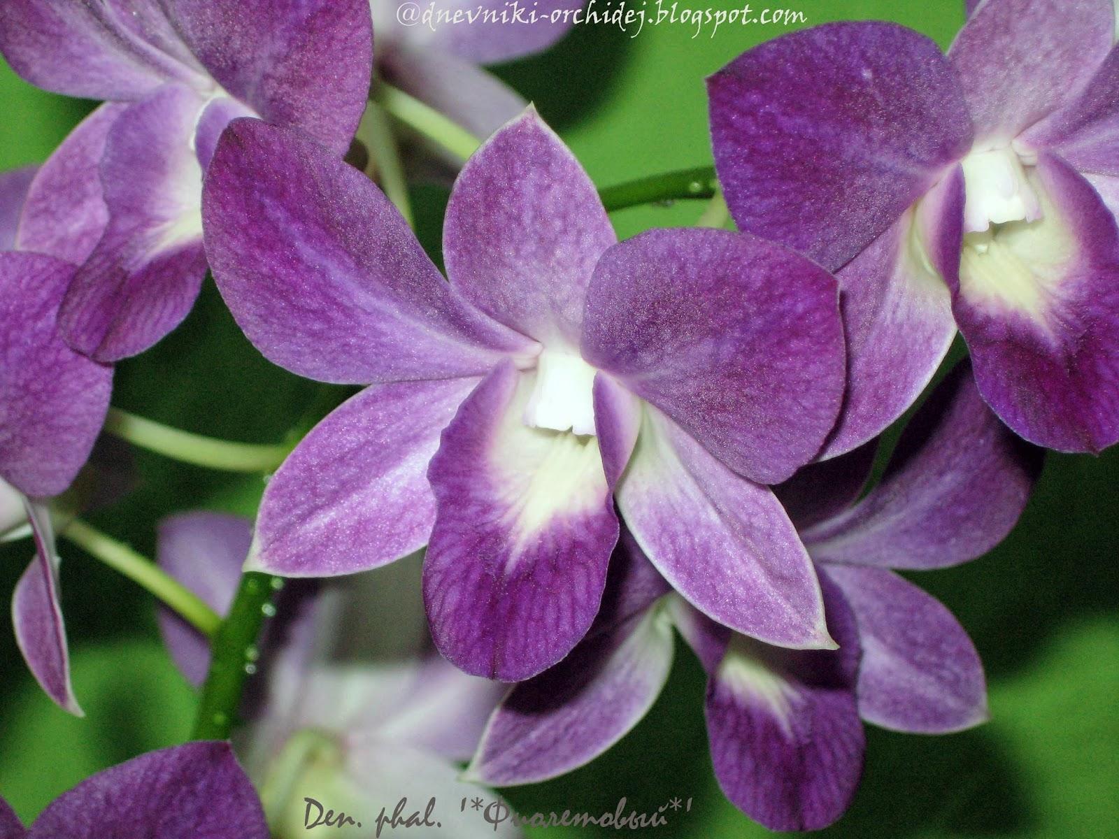 Цветочки дендробиума фаленопсиса Фиолетового поближе