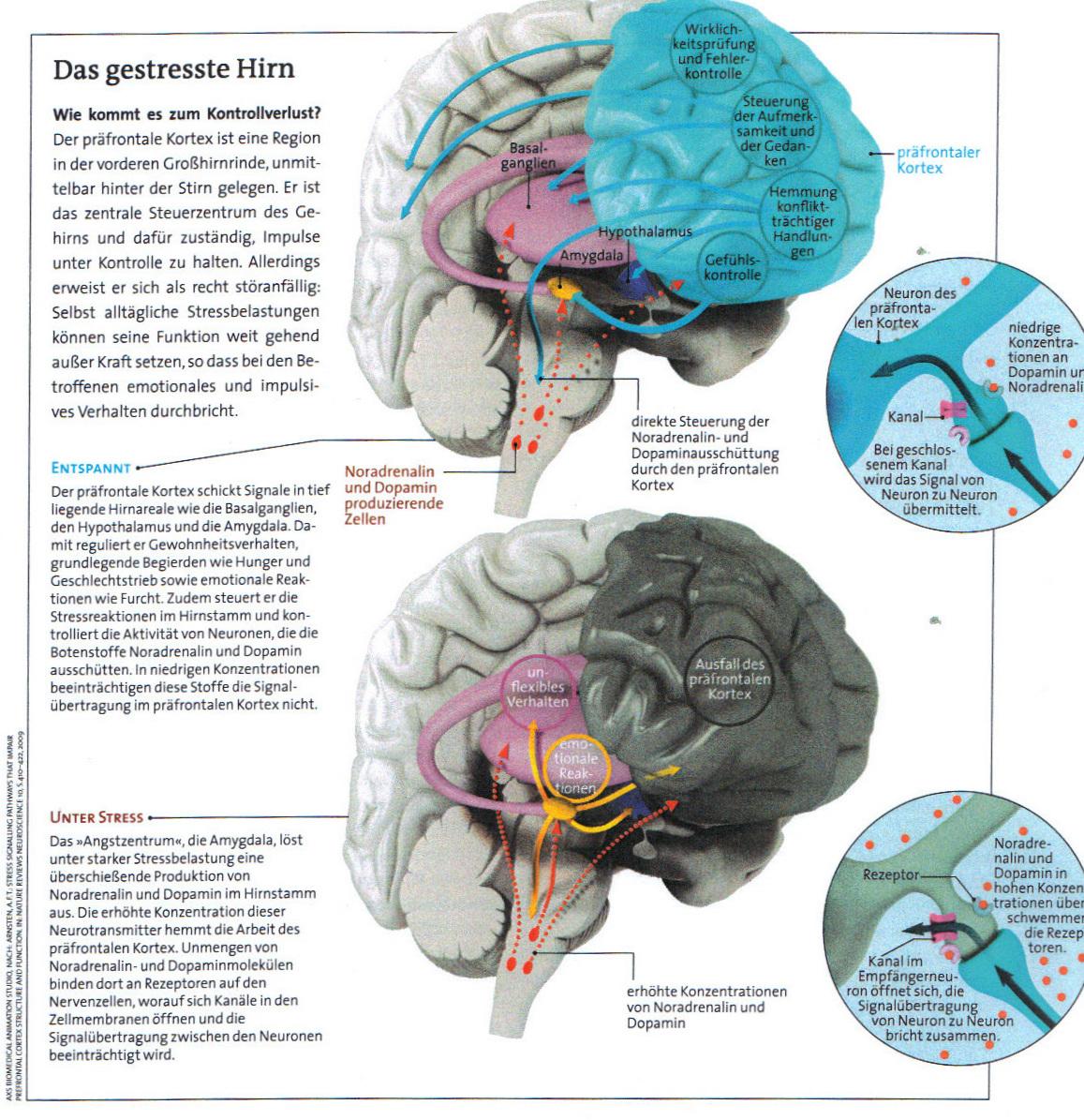 Ausgezeichnet Menschliches Gehirn Diagramm Und Funktionen Galerie ...