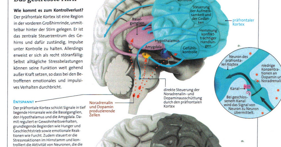 Charmant Teile Des Gehirns Und Ihre Funktionen Galerie - Menschliche ...