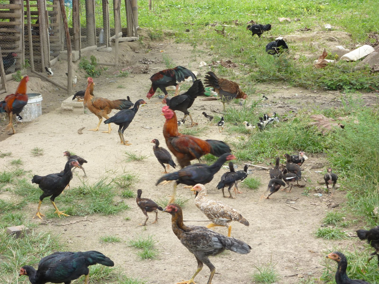 cara menggemukan ayam bangkok