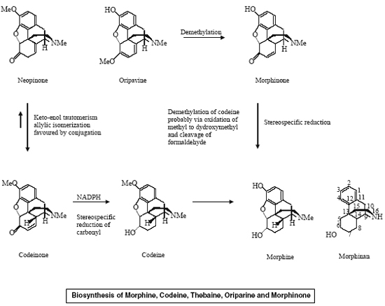 Biosynthesis of Morphine, Codeine, Thebaine, Oriparine and Morphinone
