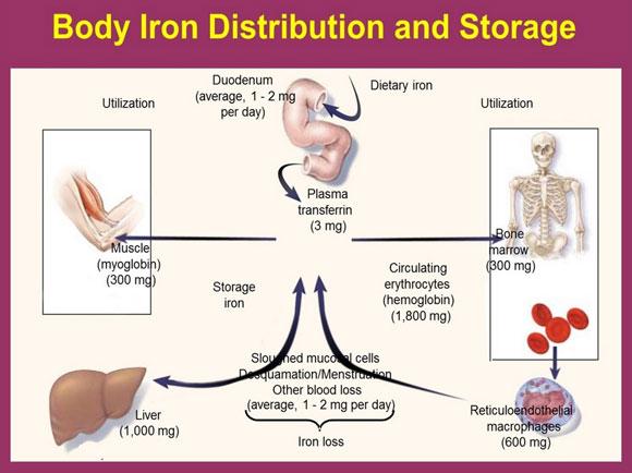 Distribusi dan penyimpanan zat besi dalam tubuh