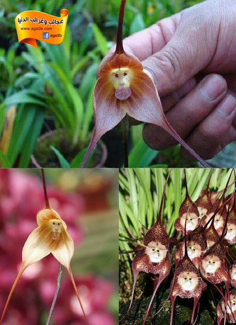 «القرد الأوركيد».. زهرة تحمل وجه قرد