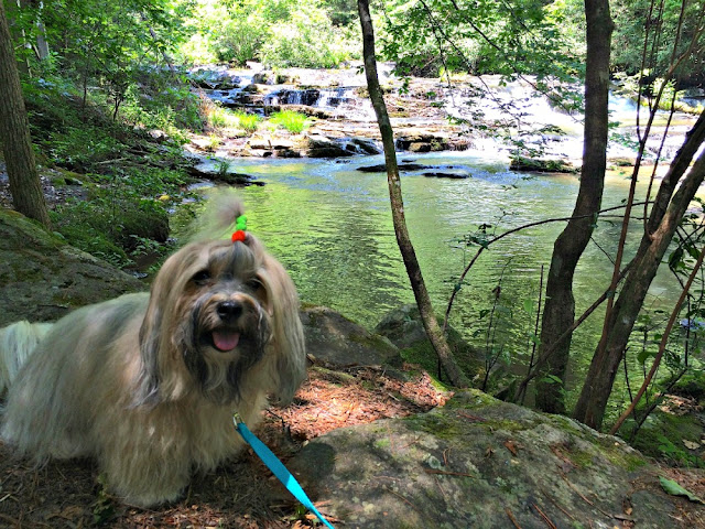 Rocco Havanese at Tumbling Waters nature trail