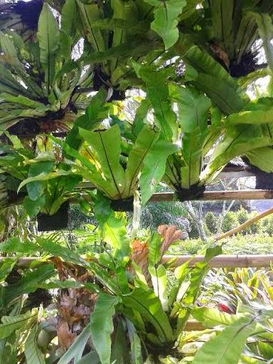 Pakis sarang burung | suplier tanaman paku hias | kadaka | tanduk rusa |