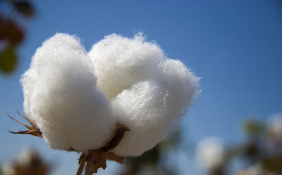 cotton export