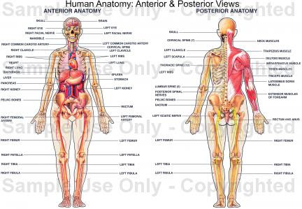 Mastering Anatomy And Physiology: How To Mastering Anatomy And ...