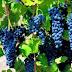 Kebun - Kebun Anggur yang Musnah