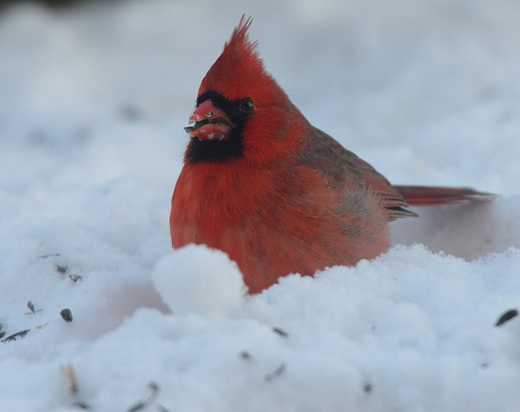 Northern Cardinal eating sunflower seeds...and keeping an eye on me on the other side of the window!