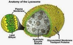 Lisosom