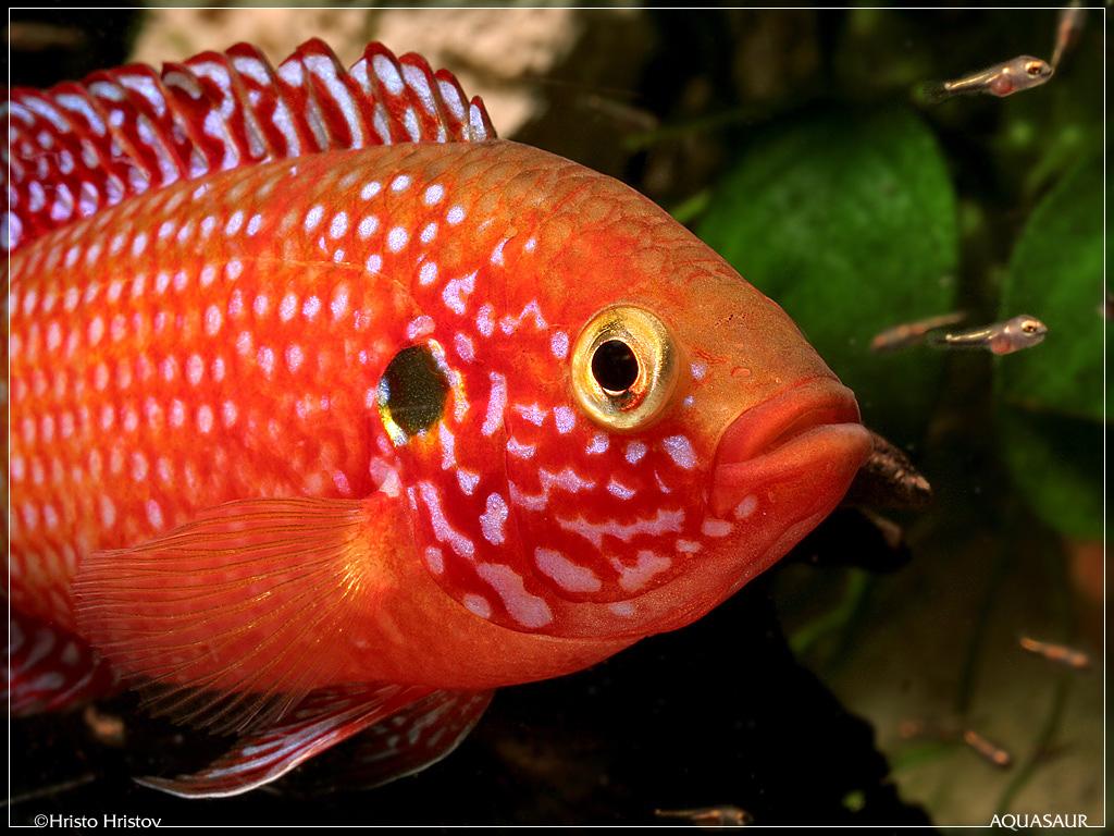 Freshwater jewel fish - Freshwater Jewel Fish