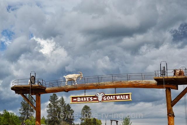 The goats enjoy their viewpoint