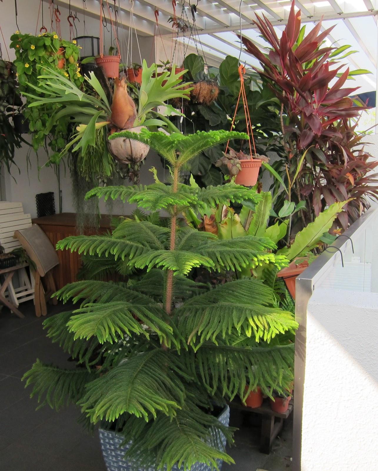 OhiPPo39s Backyard Norfolk Island Pine