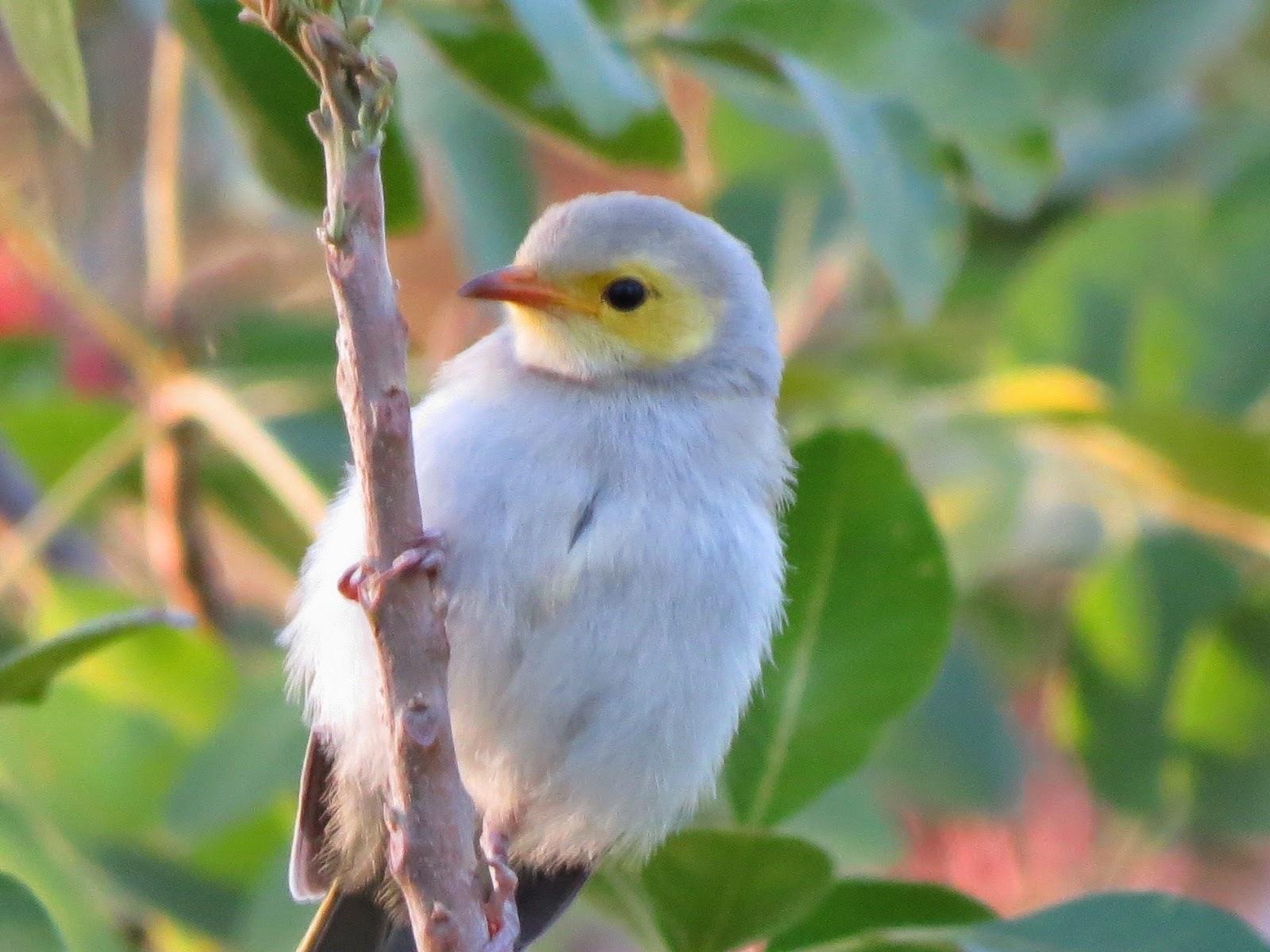 moses waring u0027s birds of australia bird photos from around alice