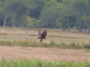Bempton Marsh I.O.W. 15/07/16