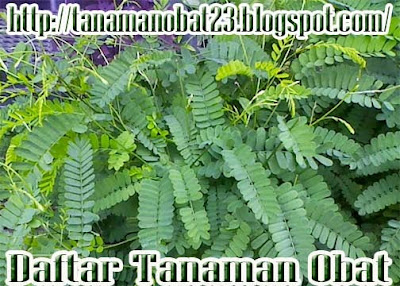 Tanaman Saga(Abrus precatorius Linn)