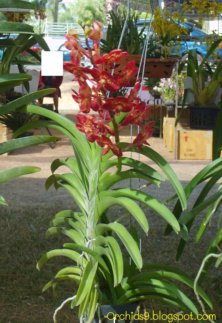 http://1.bp.blogspot.com/-2gWvMhM4Vms/ThJF8m7526I/AAAAAAAAAlw/PXY_lL1QWG4/s1600/Vanda+orchid+flower+picture+red+03.JPG