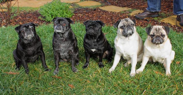 Pugs - Puglets
