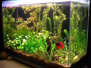 Qu peces elegir para empezar mi acuario guia mascotas for Como hacer una granja de peces