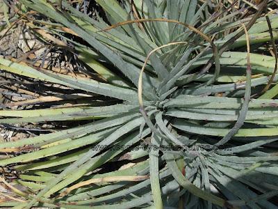 Hechtia podantha Queretaro