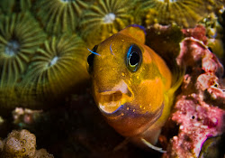 Midas Blenny