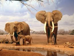 Elephants picture