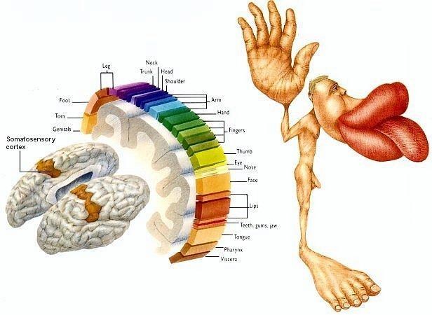 Brain Homunculus2