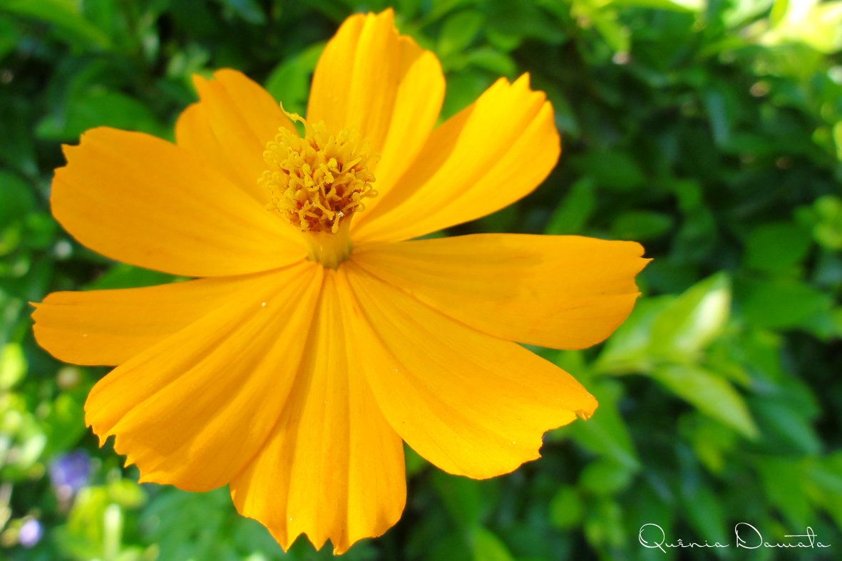 flor de jardim amarela: nome popular: beijo-de-moça, cosmos-de-jardim, cósmea, picão-rosa